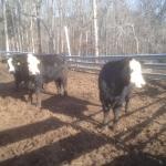 77-3-cows-rail-fence-behind