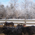 A little snow never hurt – neither the cows nor our galvanized 12 gauge panel mind the snow.