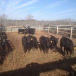 85-Guardrail-I-Beam-Corral-Cow