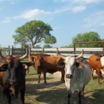 89-Longhorns-and-Real-Steel-Guardrail-Fence