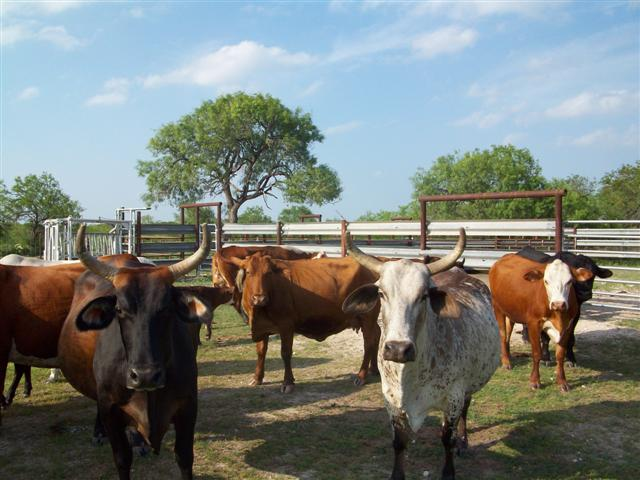 Longhorns love Used Guardrail for their corrals