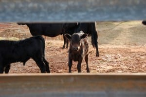 Benefits of Guardrail Fencing for cattle fencing